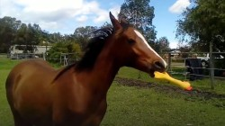 Watch this horse's adoration for his rubber chicken
