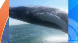 Caught on video: Whale's spectacular breach startles family