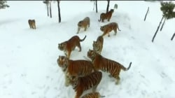 Caught on camera: Tigers snatch drone out of the sky and try to eat it