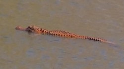 Orange-Tinted Alligator Dubbed 'Trumpagator'