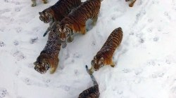 Watch These Tigers Snatch a Drone Out of the Air for Exercise