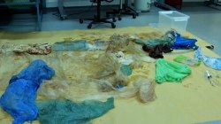 30 Plastic Bags Found in Beached Whale's Stomach