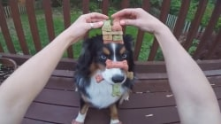Watch insanely disciplined dog balance treats on head, paws and in his mouth