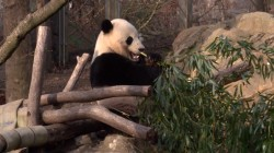 Bye-bye, Bao Bao!  Beloved giant panda returning home to China