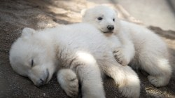 These 3-month-old polar bear twins are unbear-ably cute!