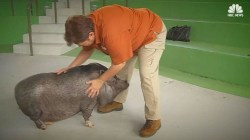 Meet This Bilingual Pot-Bellied Pig