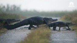 Parade of Gators Captured on Video