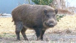 Radioactive Boars Hunted After Taking Over Towns Near Fukushima