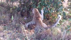 Watch intense death match between a giant python and a leopard