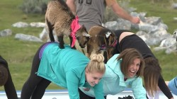 'GOGA' Mixes Playful Goats And Yoga