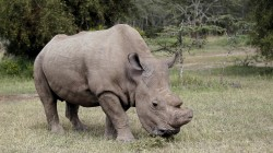 Last Male White Rhino Joins Tinder