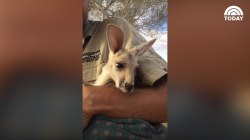 Watch this adorable baby kangaroo climb into her pouch and wave!