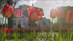 Spring Has Sprung! Michigan Town Celebrates With 4,500,000 Tulips
