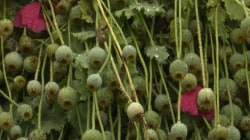 Poppy Bust: $500,000,000 In Plants Destroyed