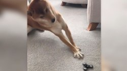 This dog can't handle the fidget spinner and it's hilarious