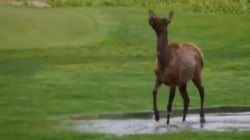 See this elk have a joyful splash party in the rain