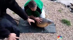 Fin and games: Watch this carp wriggle free from fisherman's hands