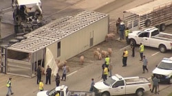 MayHAM on Texas Highway as Pigs Run Loose