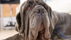 World's ugliest dog, Martha the Mastiff, visits TODAY studio live