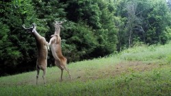 These deer can't stop fighting and it's hilarious