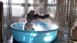 This gorilla has some epic dance moves
