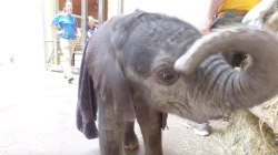 Even though she was born prematurely, this baby elephant is absolutely loving life