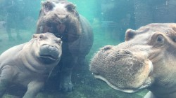 Watch beloved Fiona the hippo reunite with parents for first time