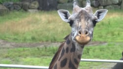 Giant Pain in the Neck? Zoo Treats Arthritic Giraffe With Acupuncture