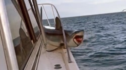 Watch shark get wedged in railing of fishing boat