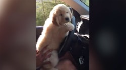 Cutest driver ever? Watch an adorable puppy get behind the wheel of a car