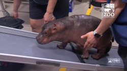 'Miracle' Hippo Now 400 Pounds and Thriving