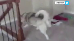 Watch what happens when this dog encounters stairs for the first time