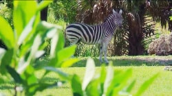 Hurricane Irma: How will Florida's zoo animals survive the storm?