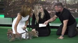 See Kelly Clarkson and Hoda Kotb meet baby tigers, wolf cub