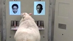 Can 'Ewe' Believe It? Sheep Can Be Trained to Recognize Faces