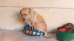 Watch this Labrador retriever try to squeeze into teensy bed