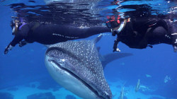 Veterans suffering from PTSD find ease swimming among whale sharks
