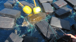 Watch crew free turtle tangled in bales of cocaine
