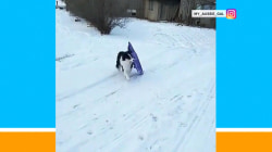 This dog pulls her own sled (so she can ride it down a hill)