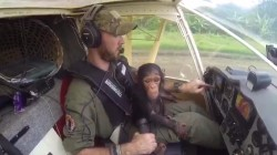 Chimp saved from poachers plays co-pilot of rescue plane