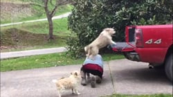 This woman has an ingenious way to get her dogs into her truck