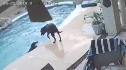 Watch dog dive into pool to push his buddy out