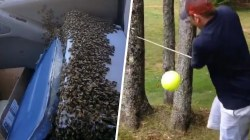 Highs and Lows: Bees loose in a moving car, startling golf shot