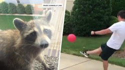 Highs and Lows: Raccoon goes viral, NFL player dominates at kickball
