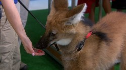Kathie Lee Gifford and Hoda Kotb meet endangered wolves, snakes and more!
