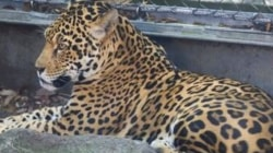 Jaguar captured after escaping New Orleans' Audubon Zoo enclosure