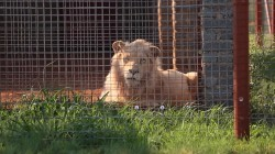 Battle to save rare white lion intensifies