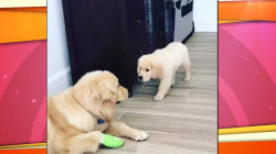 Watch: Adorable puppy tries to sneak up on big dog