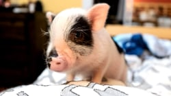 Woman adopts adorable 6-month-old pig in heartwarming story