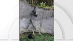 Chimpanzee escapes from enclosure at Belfast Zoo